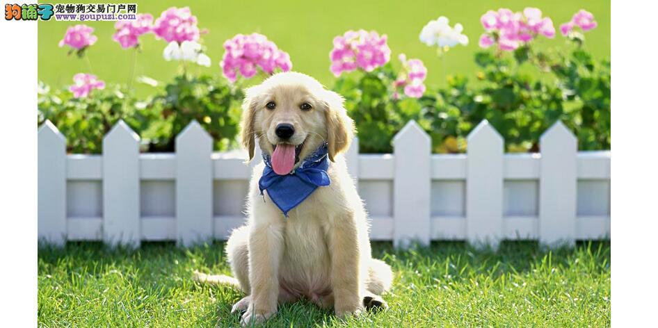 宠物店购买金毛犬的三大技巧