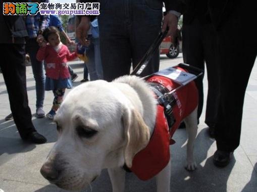 拉布拉多导盲犬:视障朋友明灯