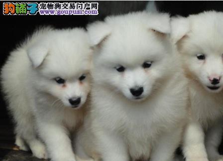 日本银狐犬的特征及选购要点