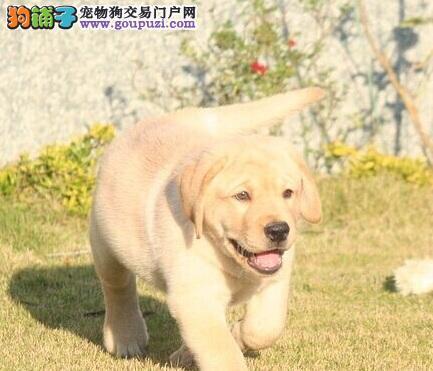 性情温顺的拉布拉多 最适合作导盲犬和工作犬的犬种