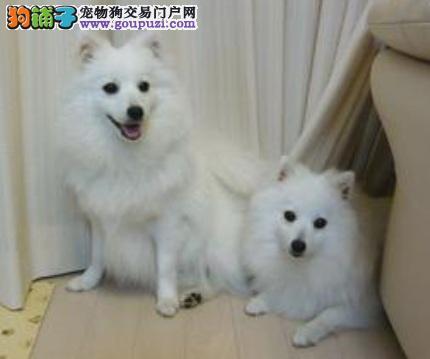 日本银狐犬与萨摩耶的区别