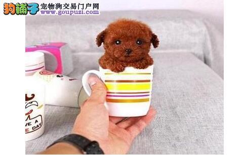 都市买泰迪熊 小心买到染色狗狗