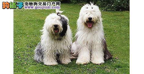 买纯种古代牧羊犬血统和保健非常重要