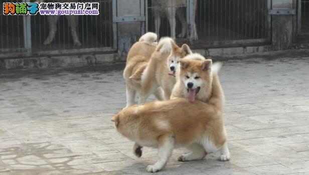 纯种秋田犬的外貌特征