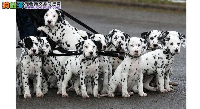 想清楚养斑点狗你准备好这些了吗