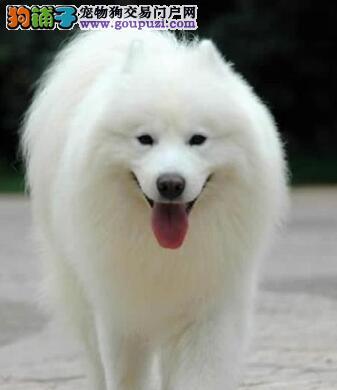 萨摩耶犬驱虫小技巧与注意事项