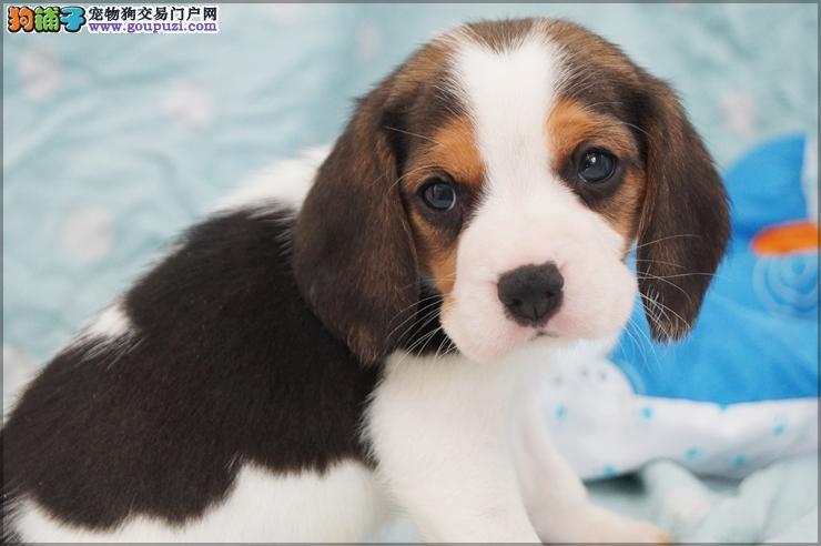 CKU京义犬业极品冠级比格犬起售中签售协议质保三年
