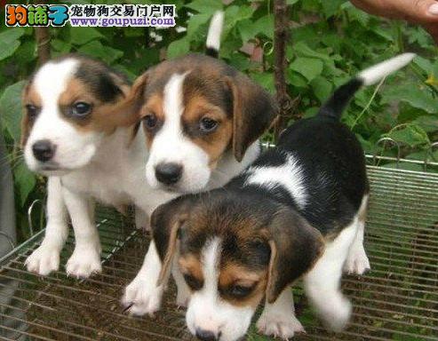 上门六折 出售家养比格犬纯种犬疫苗做好3