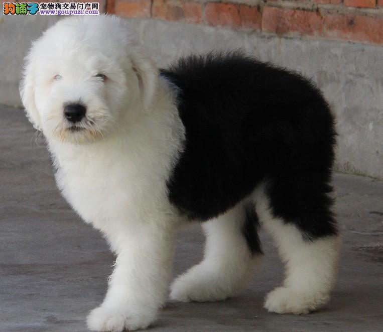 成都哪里有卖纯种古牧雪橇犬幼犬的多少钱可上门挑选