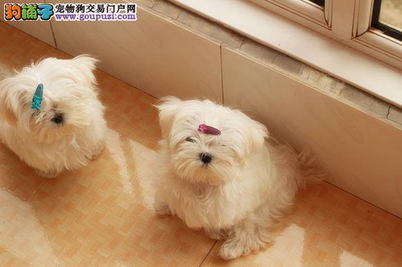 马尔济斯犬成都犬舍繁殖出售签订质保合同价格优惠3