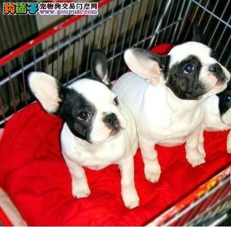 杭州繁育出售法国斗牛犬幼犬血统纯正 品相好按时防疫