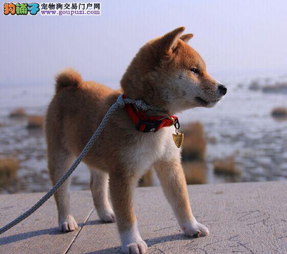 赛级柴犬幼犬,可看狗狗父母照片,等您接它回家