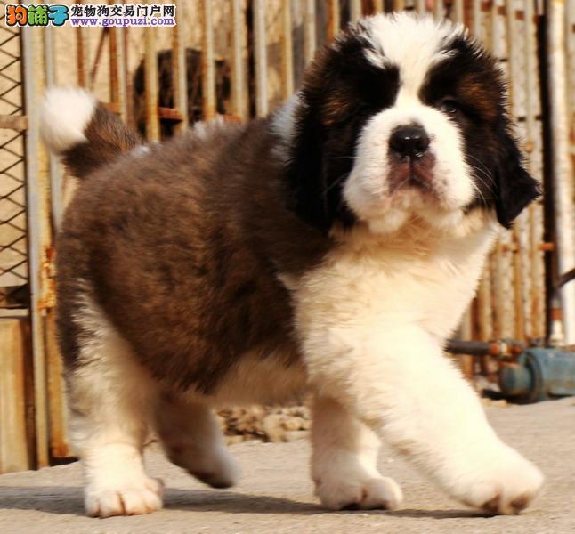 狗场直销巨型纯种圣伯纳幼犬 血统纯正 品相优良血统