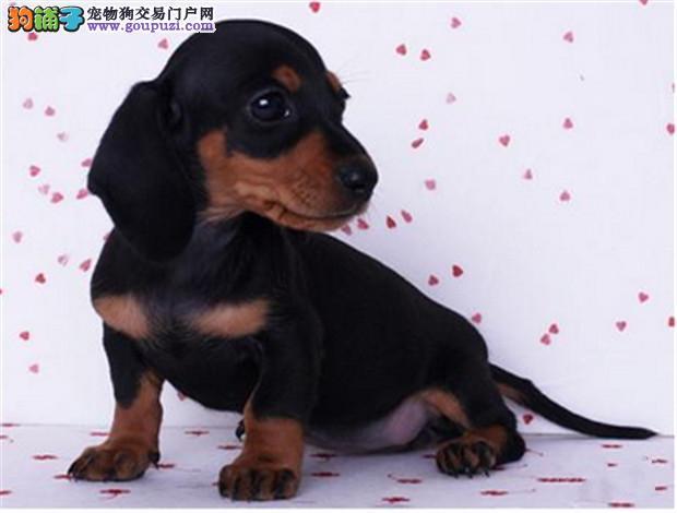 上海哪里出售腊肠犬 腊肠犬价格多少2