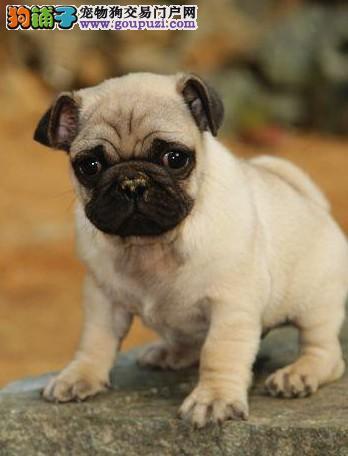 曲靖繁殖基地出售多种颜色的巴哥犬提供护养指导