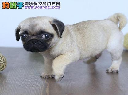 精品巴哥犬热卖中,纯种健康品相优良,提供养狗指导