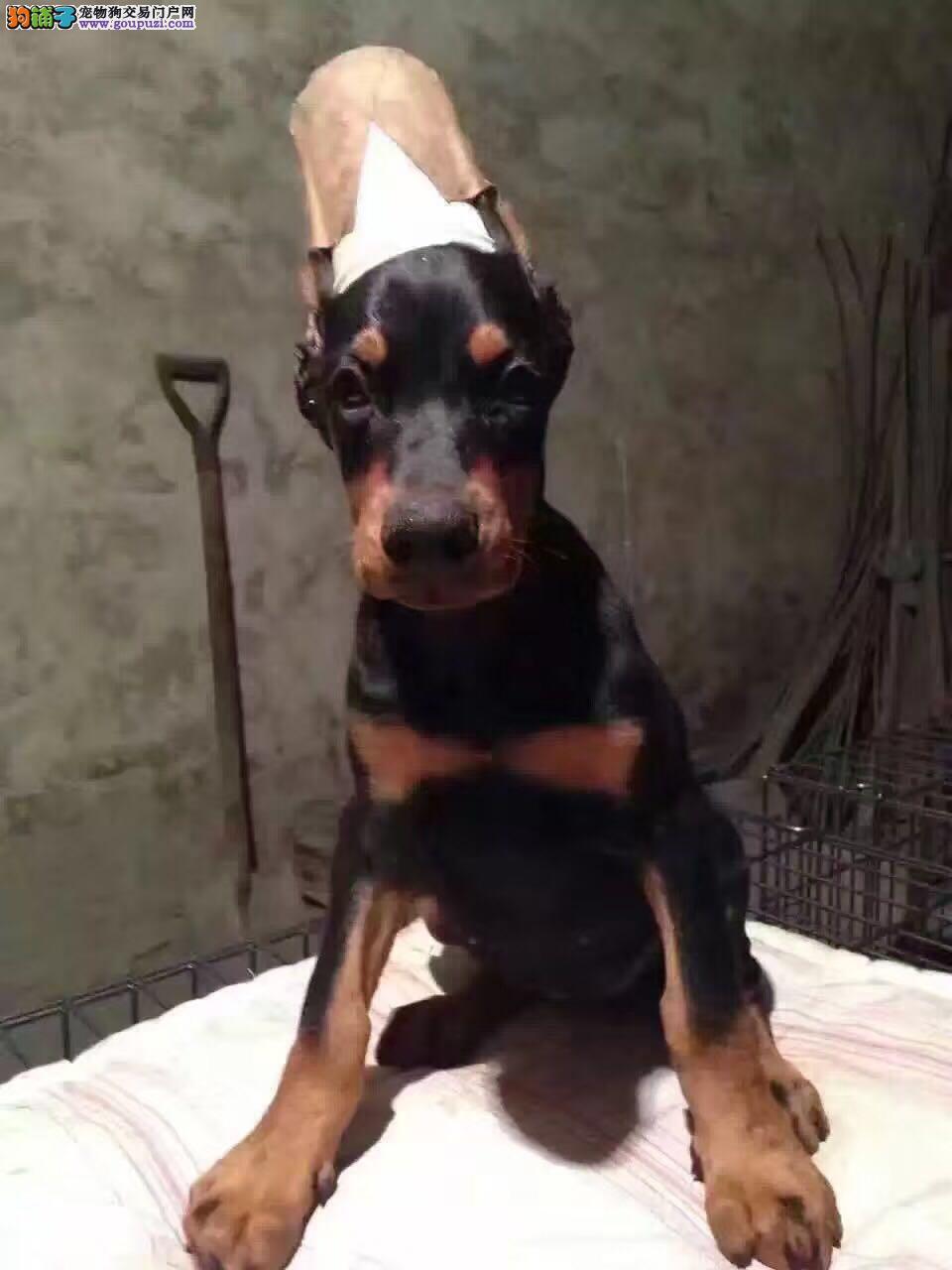 北京出售护卫犬赛级杜宾犬 签协议保健康疫苗驱虫已做