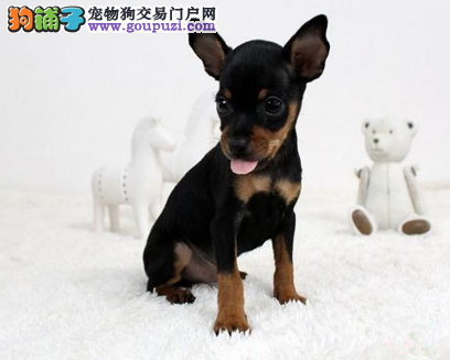 武汉精品高品质小鹿犬宝宝热销中终身售后协议4