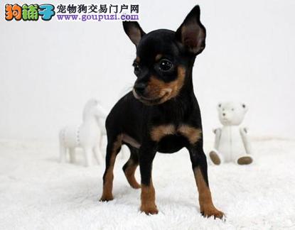 连云港出售小鹿犬幼犬品质好有保障三针疫苗齐全4