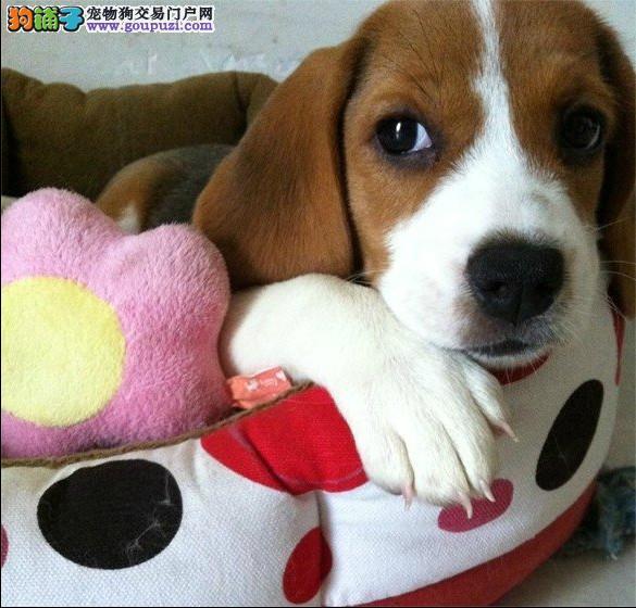 北京售比格犬幼犬 米格鲁猎兔犬公母全有欢迎选购图片
