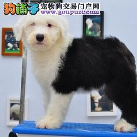 天津健康憨厚招人喜欢的英国古代牧羊犬宝宝出售