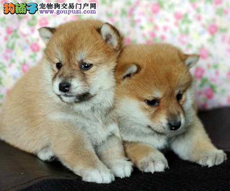 日系高品质柴犬品相一流 保健康 保售后