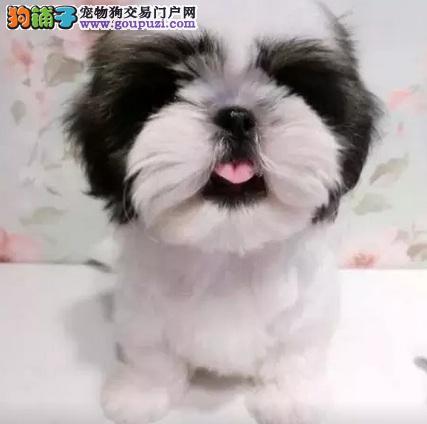 西施犬宝宝热销中 国际血统品质保障 寻找它的主人