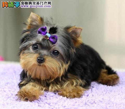 乖巧可爱金头银背蓝背纯种约克夏幼犬 成犬3斤