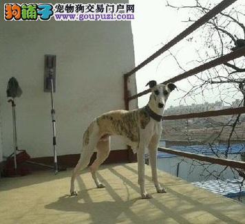 格力犬多少钱一只