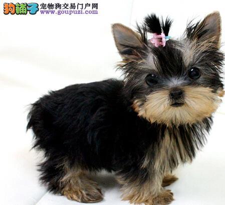 小型犬约克夏犬在哪里买 广州名豪犬业有卖