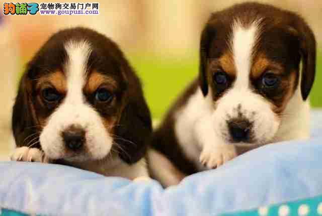 合肥犬养殖场 赛级比格犬打完疫苗带证书芯片可签协议