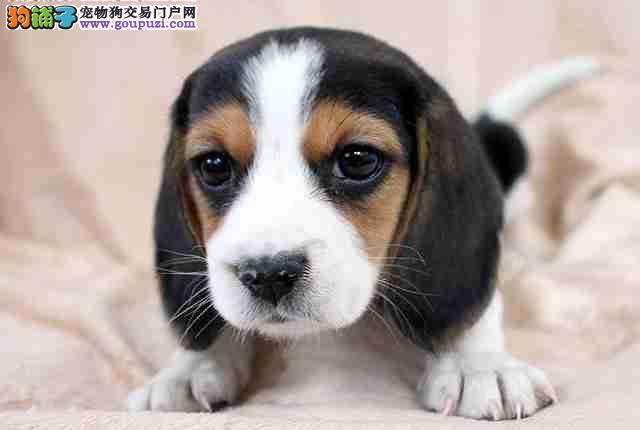 国外引进纯比格犬,保证血统纯度,签协议可送货