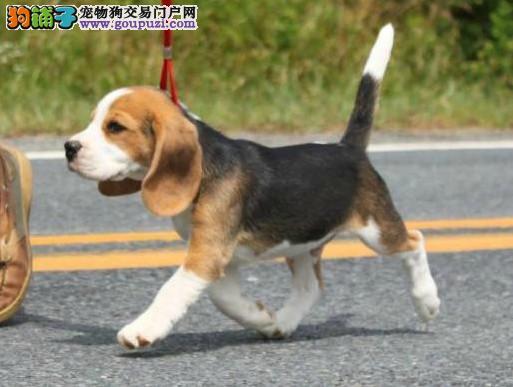 出售比格犬幼犬 赛级品种 疫苗驱虫已做 保纯种保健康