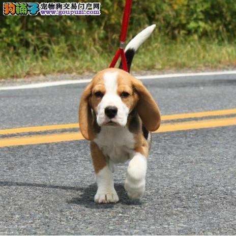专业繁殖纯种比格幼犬 可上门挑选 公母都有 协议质保