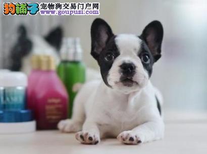 斗牛犬出售 纯度100%购买有保障售后服务