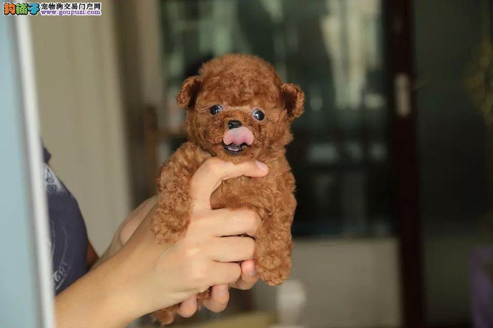 韩国引进精品超卡哇伊茶杯犬宝宝热卖中质量三包可送货4