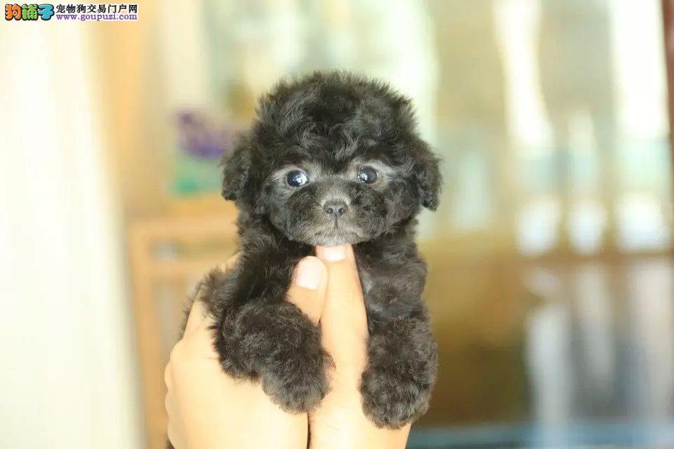 昭通出售茶杯犬颜色齐全公母都有专业品质一流