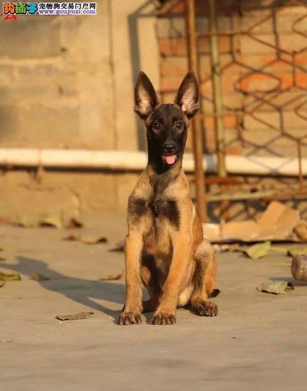 最大的马犬基地 完美售后微信咨询看狗狗视频