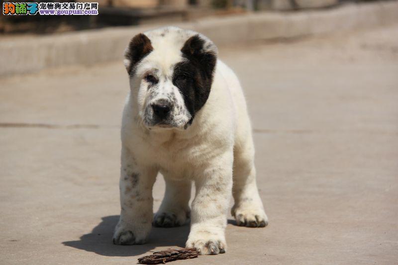 完美品相血统纯正中亚牧羊犬出售实物拍摄直接视频