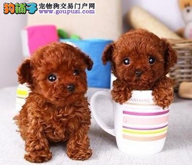 出售高品质茶杯犬,保证血统纯度,质保健康90天