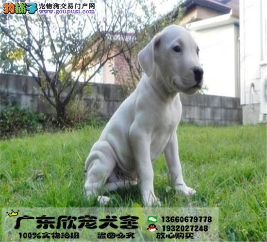 纯种赛级杜高,多只可选,正规犬舍出售,签订协议