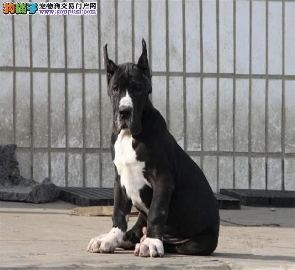 专业正规犬舍热卖优秀的长沙大丹犬保证冠军级血统图片