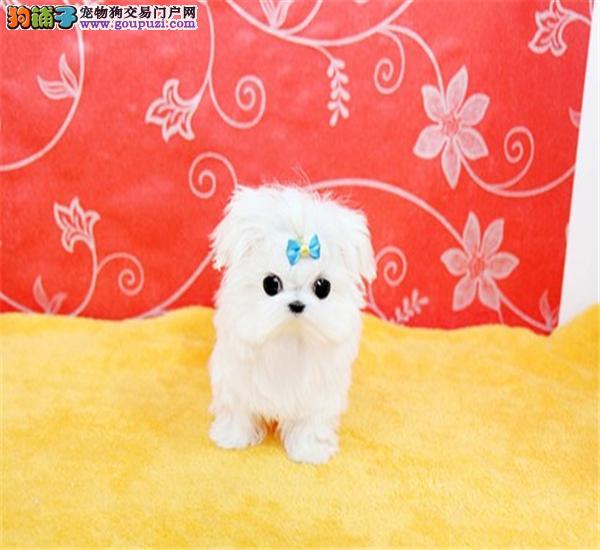 精品高品质马尔济斯幼犬湘潭繁育出售 质保纯种健康
