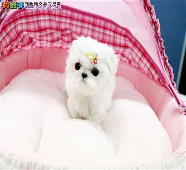 重庆哪里可以买到纯种的马尔济斯犬 马尔济斯犬价格