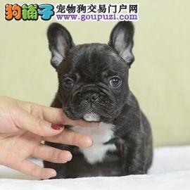法国斗牛犬福州最大的正规犬舍完美售后爱狗人士优先