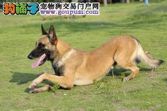 精品纯种马犬出售质量三包品质一流三包终身协议