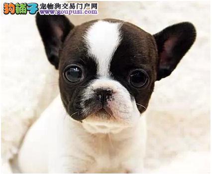 法国斗牛犬繁殖基地出售斗牛宝宝 保证品质