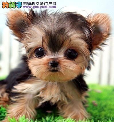 国际注册犬舍 出售极品赛级约克夏幼犬办理血统证书