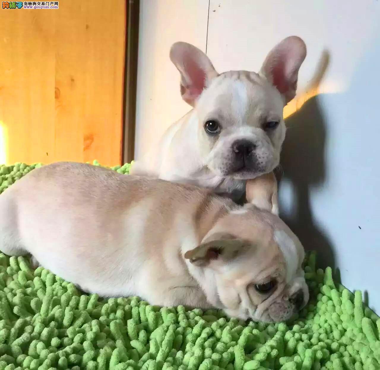 法国斗牛犬宝宝出售中、金牌店铺品质保障、签协议可送货