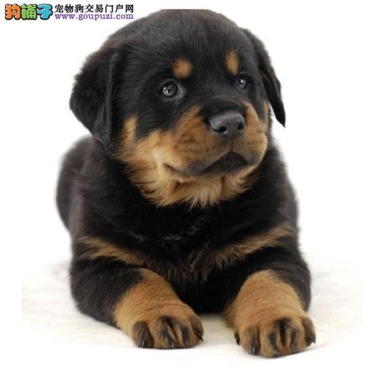 CKU犬舍认证出售高品质罗威纳诚信信誉为本